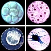 a developing sea urchin embryo, a frog skin cell, a neuron in the g0 phase, and an 8 cell zebra danio fish embryo